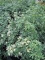Choisya ternata White Dazzler (wallygrom) 001.jpg