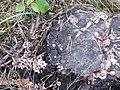 Chondrostereum purpureum 101578667.jpg