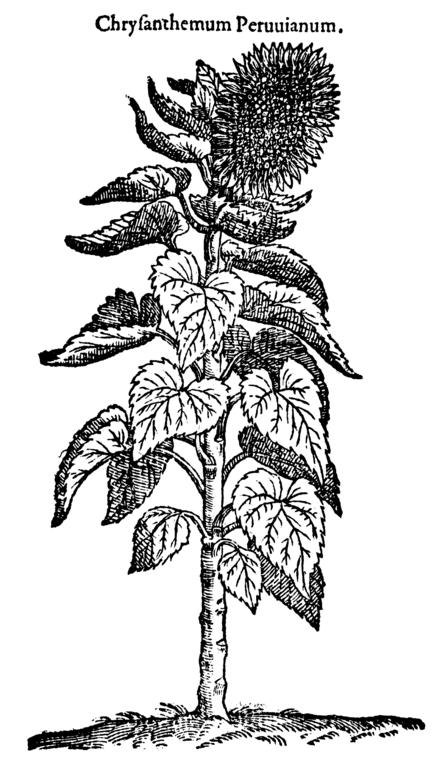 [Image: 442px-Chrysanthemum_peruvianum_264_Dodoens_1583.png]