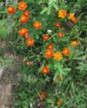 Chrysanthemum plant.PNG