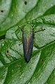 Cicadellidae (23876569779).jpg
