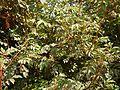 Cipadessa baccifera (5654182042).jpg