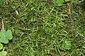 Cirriphyllum piliferum (d, 144837-474708) 6156.JPG