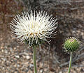 Cirsium neomexicanum 2.jpg