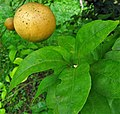 Citrus x paradisi. Pomelar.jpg