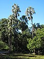 City Botanic Gardens Palms by the pond IMG 3596 (5555650738).jpg