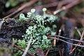 Cladonia fimbriata 107248881.jpg