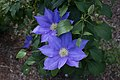 Clematis 'H. F. Young' IMG 0193.jpg