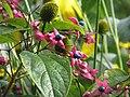 Clerodendron trichotomum fargesii ^ Rudbeckia Herbstsonne - Flickr - peganum.jpg