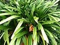 Clivia x cyrtanthifolia - Basel - 1.jpg