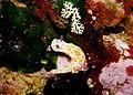 Clown Nudibranch - Ceratosoma amoenum - Poor Knights Islands - 4329611322.jpg