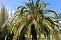 Coastal Georgia Botanical Gardens, Canary Island Data Palm Phoenix ca.jpg