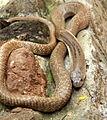 Cobra in Bennerghatta Park.JPG