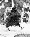 Cocky Raven (8650453343).jpg