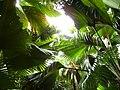 Coco de mer leafs.jpg