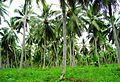 Coconut trees (8).JPG
