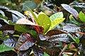 Codiaeum variegatum var. pictum Norma 1zz.jpg
