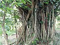 Colarrdeau Hill - The Banian roots - panoramio.jpg