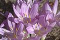 Colchicum cilicicum GotBot 2015 001.jpg