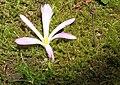 Colchicum montanum & Scilla autumnalis bud2.jpg