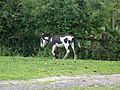 Coloured donkey near Cadnam Green - geograph.org.uk - 1431228.jpg