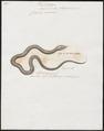 Coluber cyaneus - 1700-1880 - Print - Iconographia Zoologica - Special Collections University of Amsterdam - UBA01 IZ12100109.tif