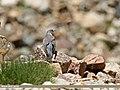 Common Cuckoo (Cuculus canorus) (28137607035).jpg