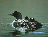 Common loon / Calàbria grossa
