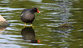 Common Moorhen, Gallinula chloropus at Rietvlei Nature Reserve, Gauteng, South Africa (15657117266).jpg