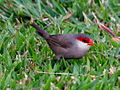 Common Waxbill RWD2.jpg