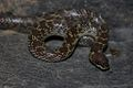 Common Wolf Snake (Lycodon aulicus) 白環蛇7.jpg