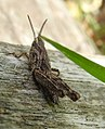 Common field grasshopper (28172407650).jpg
