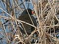 Common moorhen in the river - 2.jpg