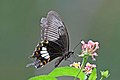 Common mormon (Papilio polytes cyrus) female underside.jpg