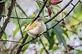 Common tailorbird दमाई चरा, पातसिउने फिष्टो 3.jpg