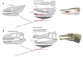 Comparative evolution of jaws between Muraenesocidae (A) and Spinosauridae (B).png