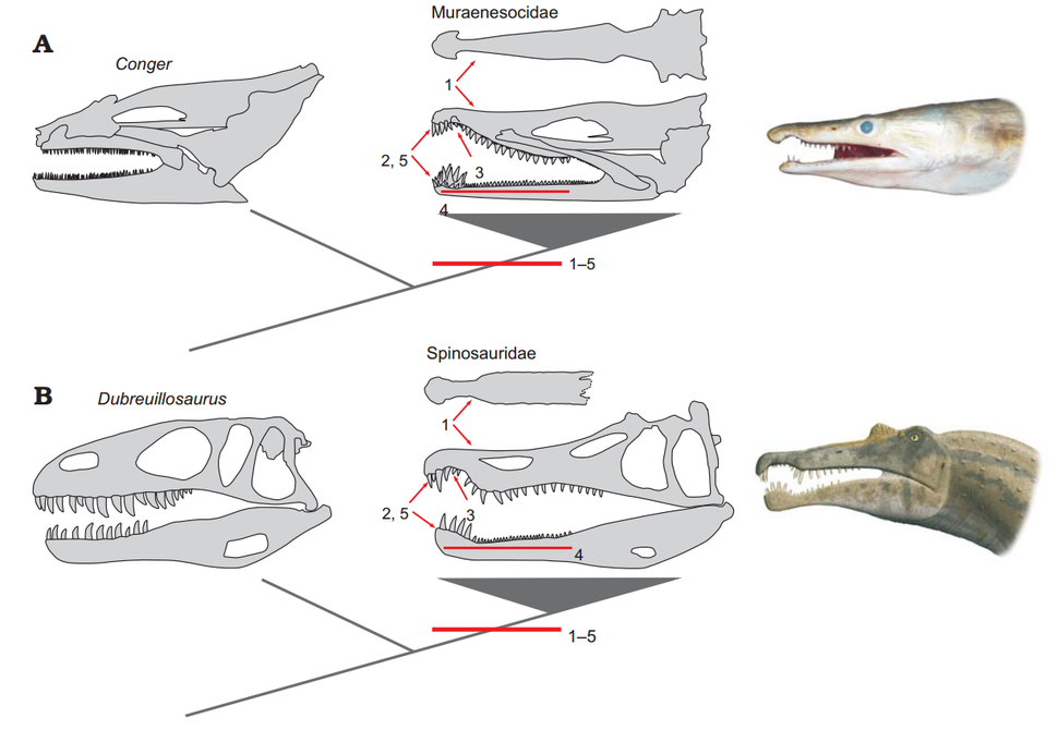 Comparative evolution of jaws between Muraenesocidae (A) and Spinosauridae (B)