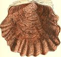 Conchologia iconica, or, Illustrations of the shells of molluscous animals (1843-1878) (20491676679).jpg