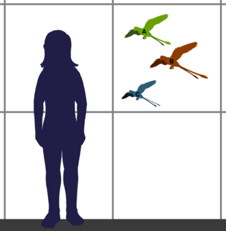 Morphometrics - Size of genera in the extinct bird family Confuciusornithidae, compared to a human (1.75 meter tall). A. Changchengornis. Based on the holotype. B. Confuciusornis. Based on several specimens of about the same size. C. Eoconfuciusornis. Based on the holotype IVPP V11977.