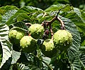 Conkers - geograph.org.uk - 229798.jpg