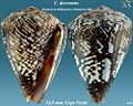 Conus decoratus 3.jpg