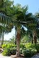 Copernicia baileyana - Naples Botanical Garden - Naples, Florida - DSC00016.jpg