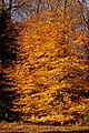 Copper Beech Fagus sylvatica f. purpurea Autumn Tree 2000px.jpg