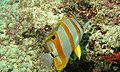 Copperband Butterflyfish (Chelmon rostratus) (6083194464).jpg