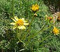 Coreopsis (or Leptosyne) gigantea (27210400550).jpg