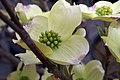 Cornus florida Cherokee Princess 4zz.jpg