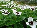 Cornus suecica lapland 2.JPG