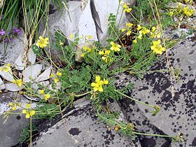 Coronilla vaginalis 1.jpg