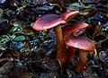 Cortinarius sanguineus (12844731863).jpg