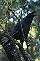 Corvus corone PT.jpg